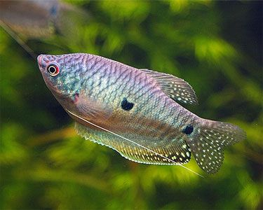 Blue Gourami I Have An Opaline Gourami In My Tank At Home Biotope Aquarium Fish Pet Freshwater Fish