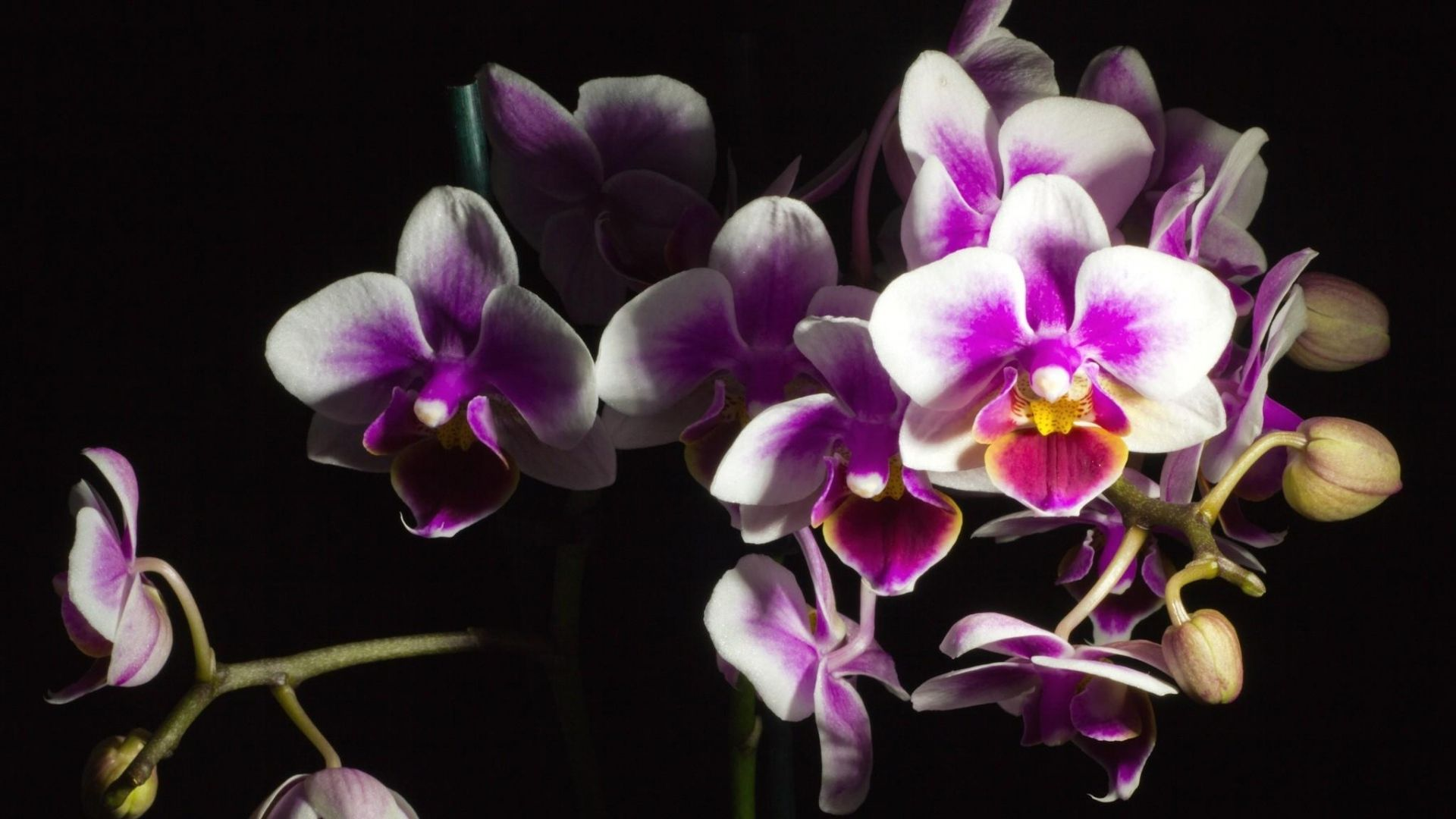 Download Wallpaper 1920x1080 Orchid Flower Black Background Beautiful Full Hd 1080p Hd Background Orchids Orchid Nursery Orchid Flower