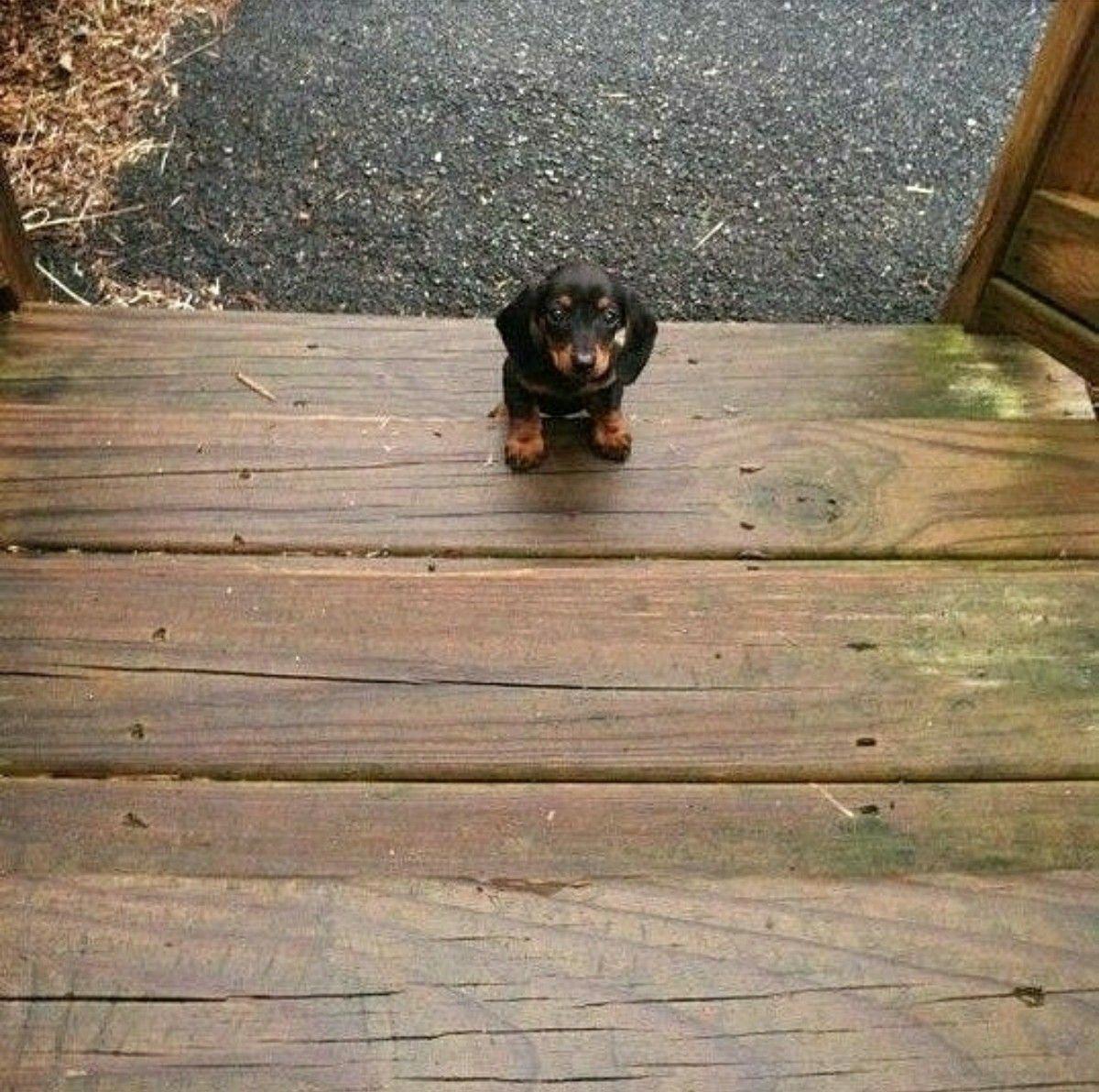 Dachshund puppy daschundpuppies daschund puppies