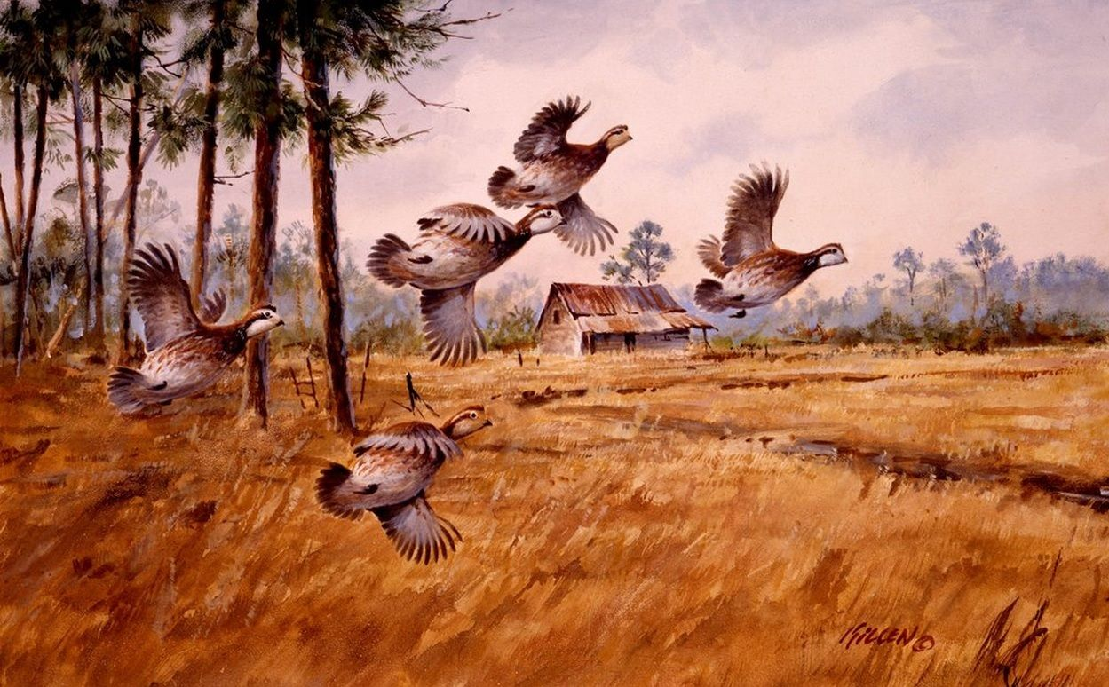 Bobwhite quail covey - photo#14