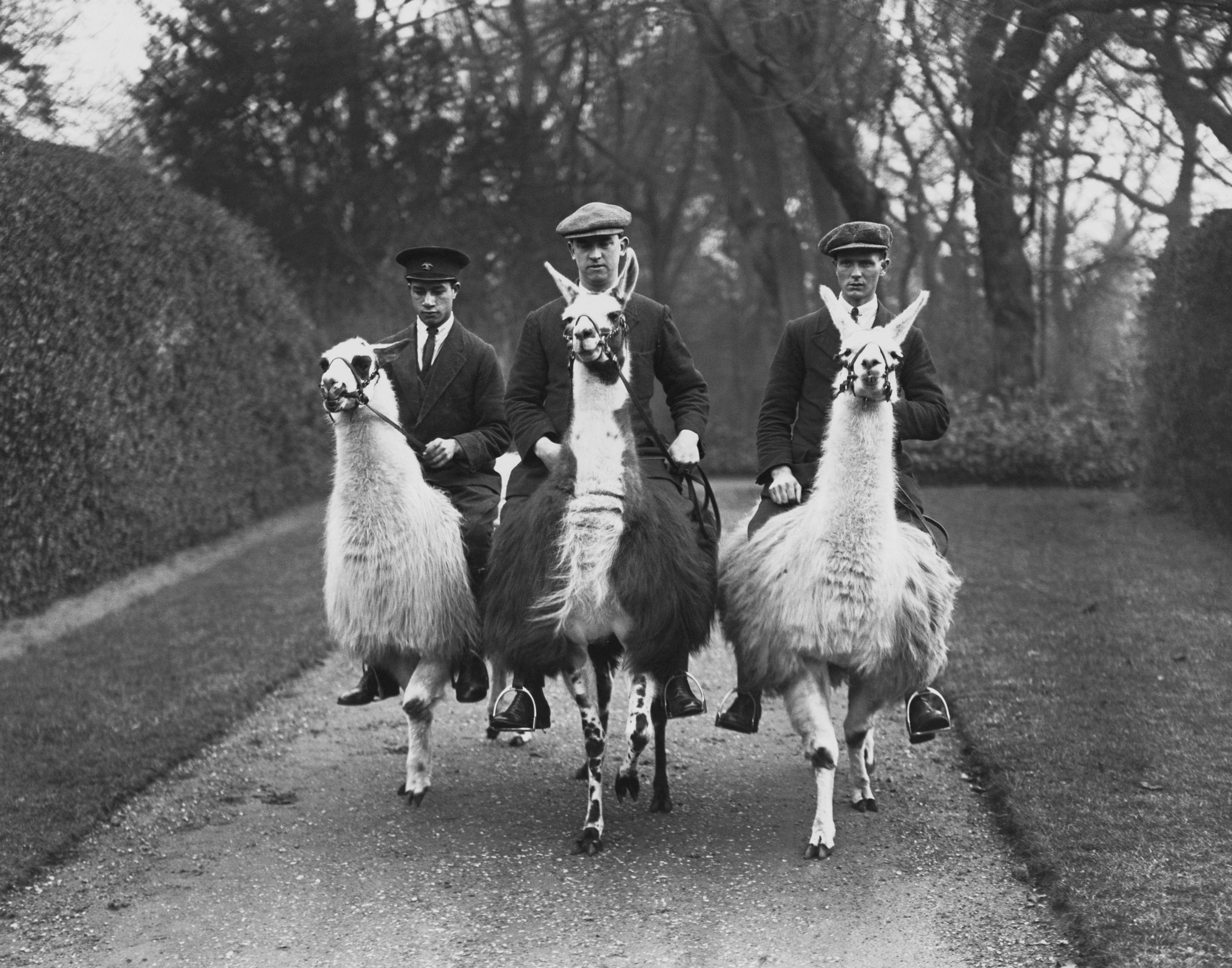 Llama Deutsch