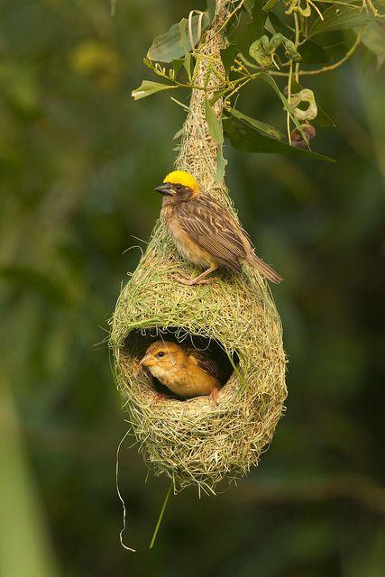 Boyeros en su nido que preparan tejiendo crín de caballo