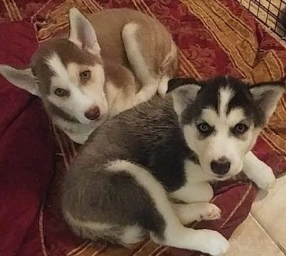 Siberian Husky Puppy For Sale In Orlando Fl Adn 34302 On