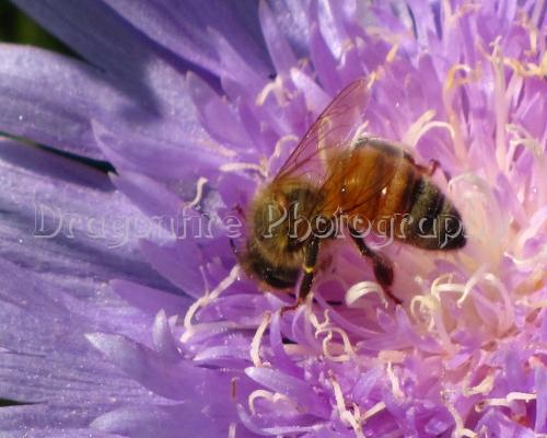 Bee on Purple Flower $15.00