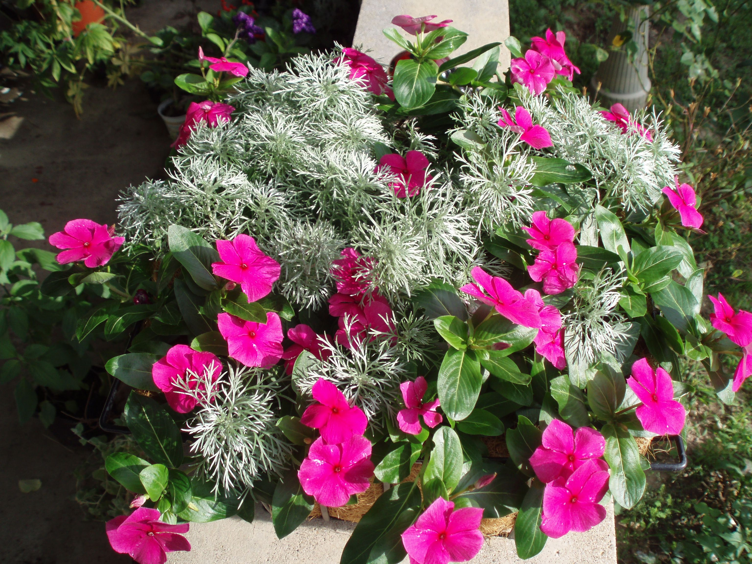 Mixing Annual Vinca With Perennial Silver Mound Artemisia Makes A