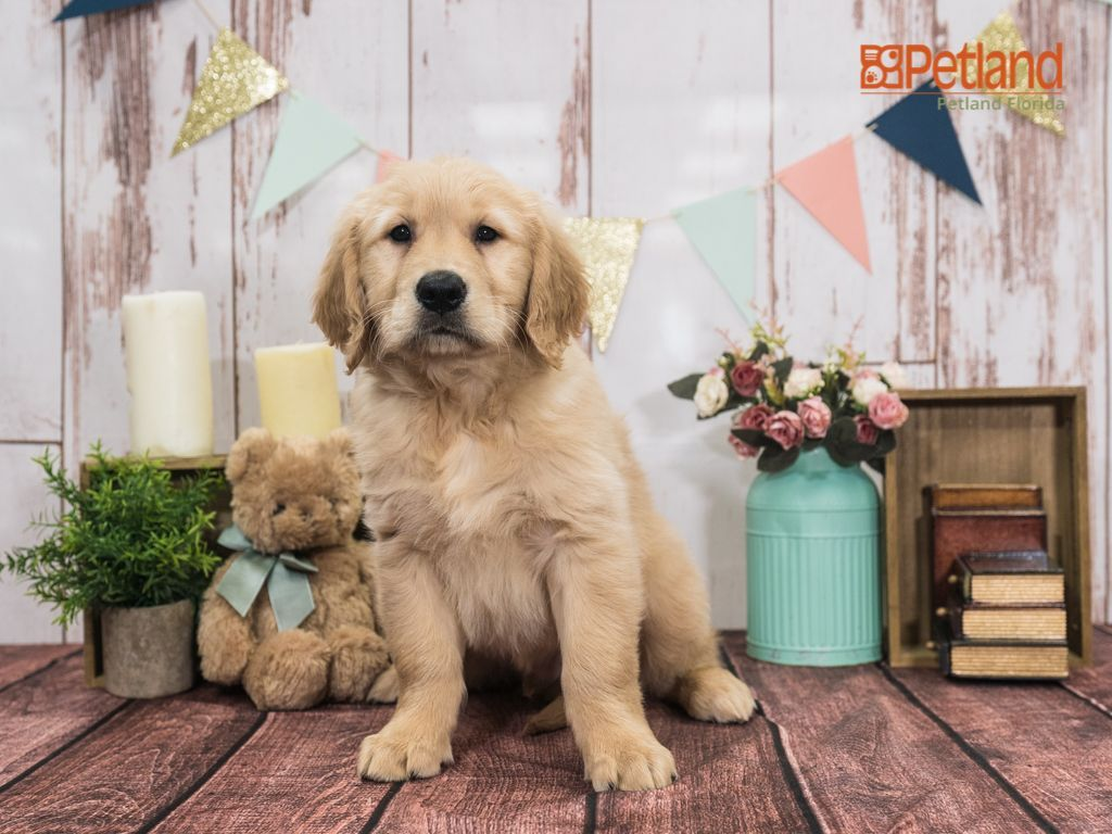 Puppies For Sale Retriever Puppy Puppies Puppies For Sale