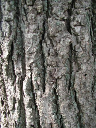 17 Best images about Tree identification on Pinterest | Ash, Red ...