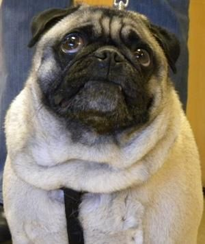 Adopt Sofe On Pug Rescue Rescue Dogs Dogs