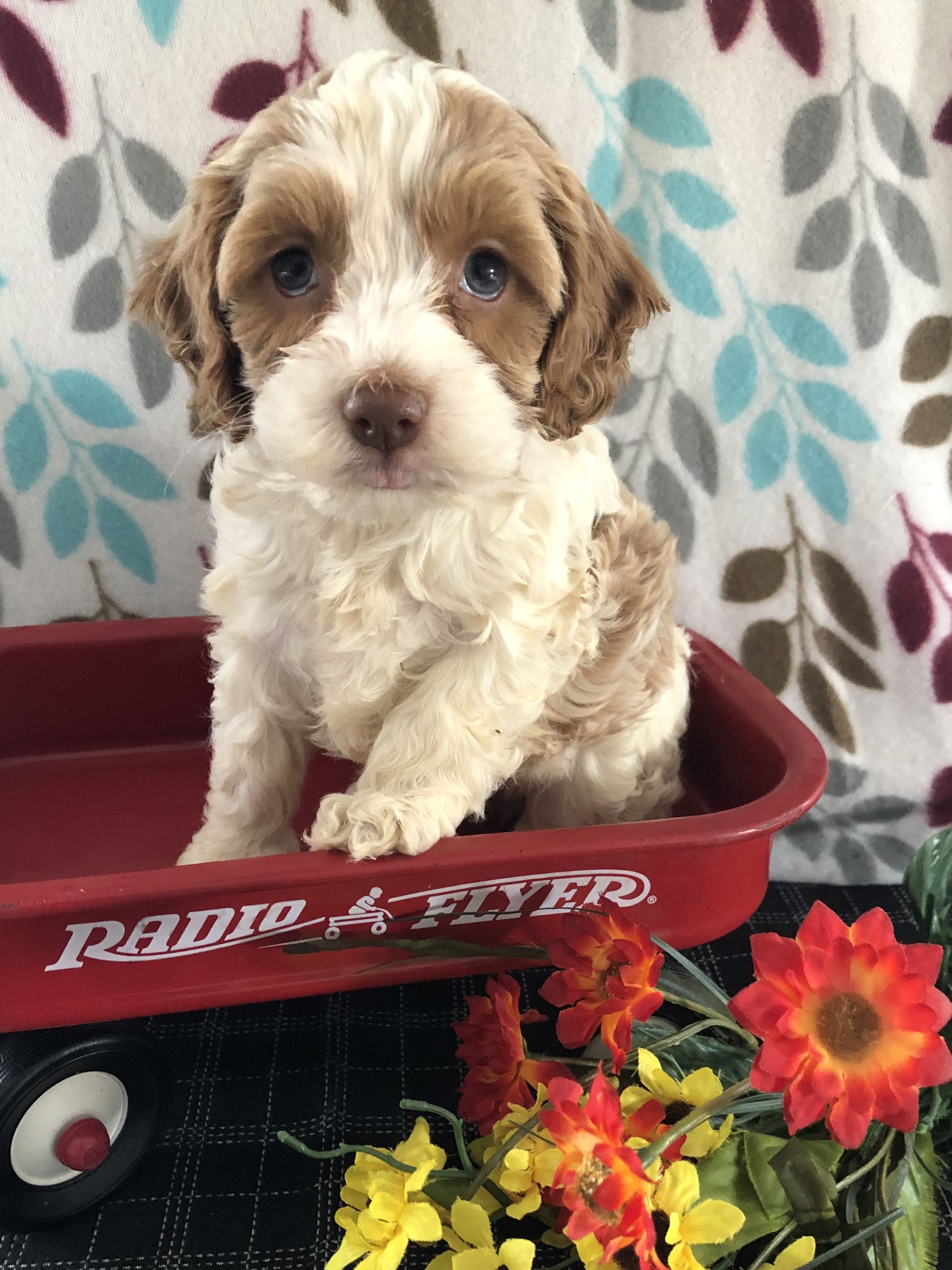 Loving Cockapoo Cockapoo Puppies Cockapoo Puppies For Sale