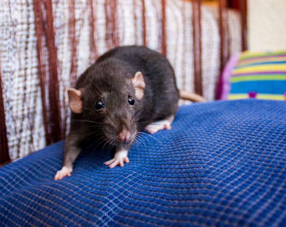 Kat Black Irish Dumbo Rat Cute Rats Dumbo Rat Pet Rats