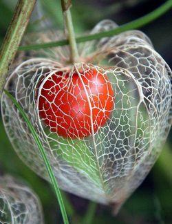 physalis solanum diff rentes cucurbitac es ces fruits d 39 automne arrivent chez votre fleuriste. Black Bedroom Furniture Sets. Home Design Ideas