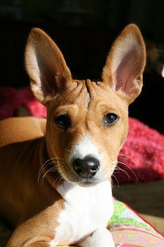 Basenji Basenji Dogs Basenji Puppy Cute Dogs Breeds