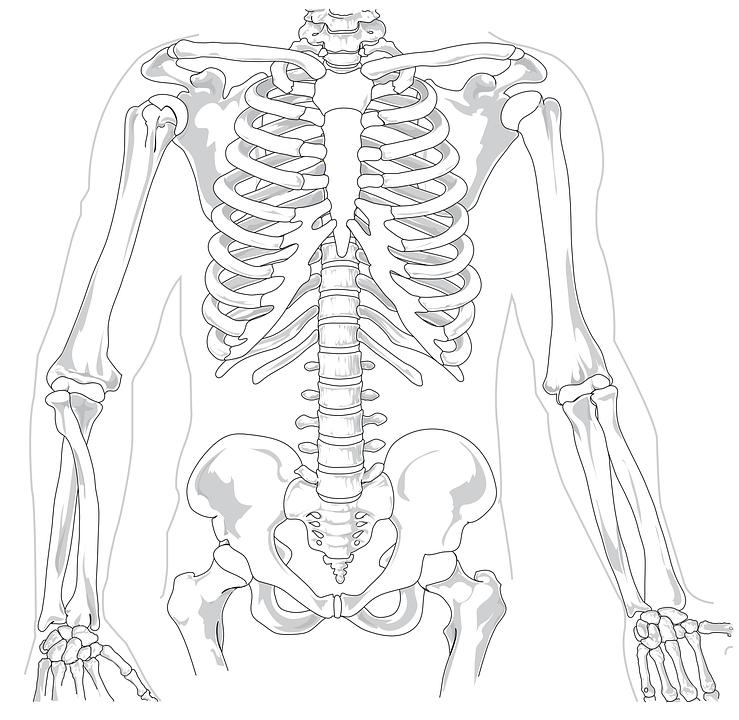 Imagen gratis en Pixabay - Esqueleto, Humana, Diagrama   Pinterest ...