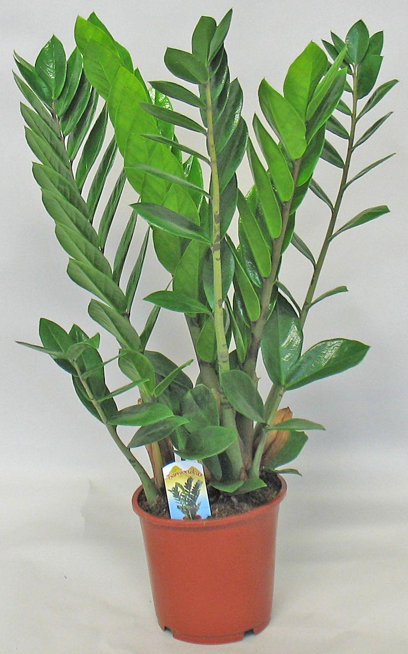Latin name Zamioculcas zamiifolia, Common name