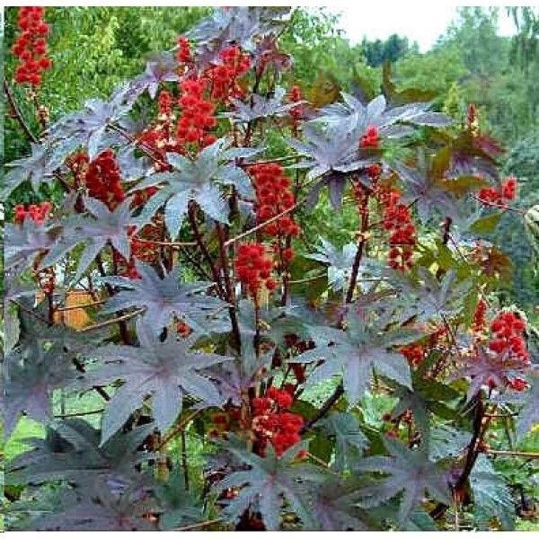 Ricinus Communis Seeds Red Castor Bean Plant Seeds Castor Oil