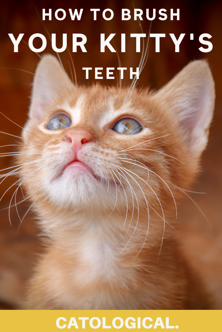 How To Brush Your Cat S Teeth At Home With The Best Dental Products In 2020 Cat Care Cat Advice Kitten Care