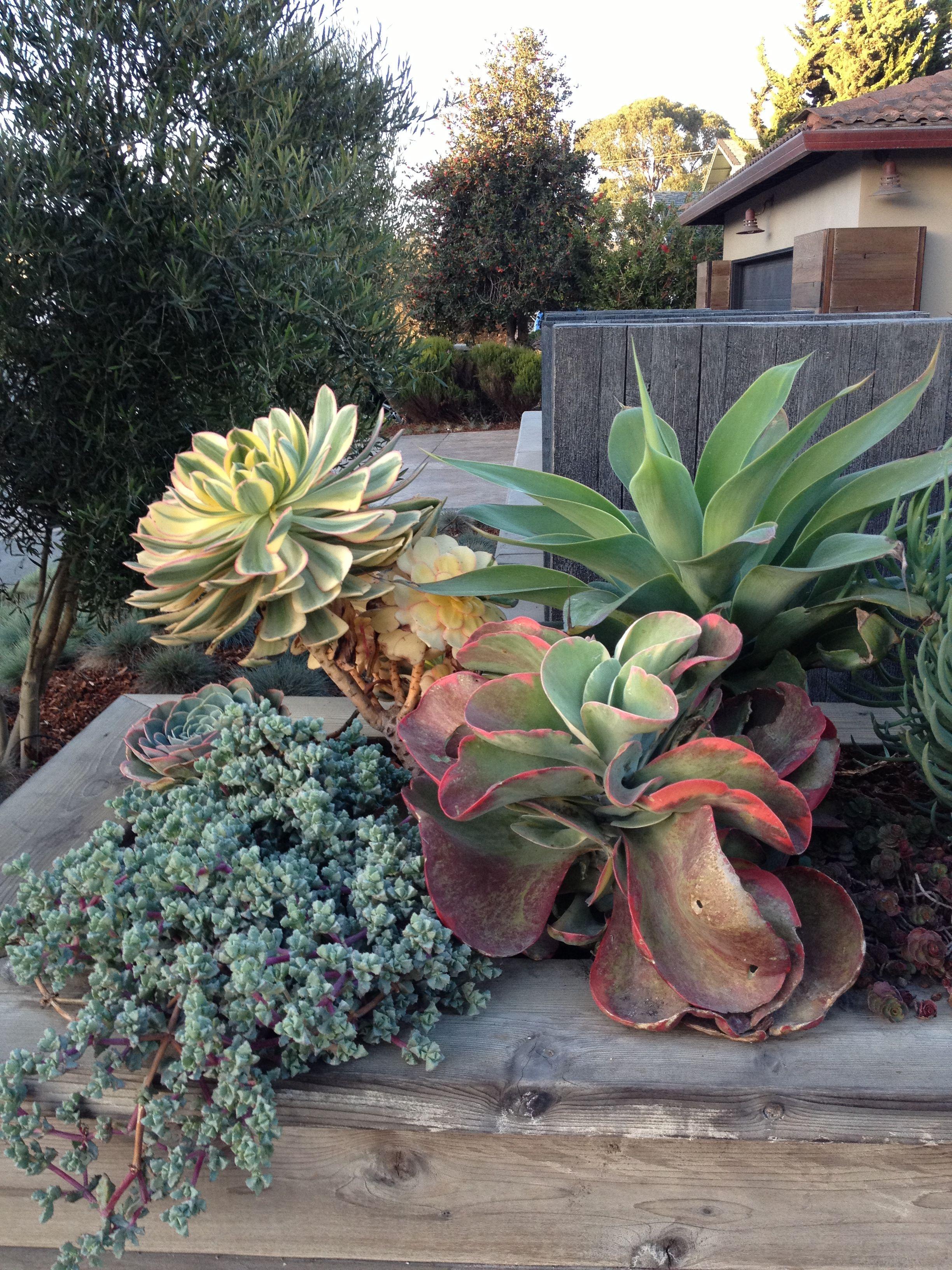 Succulents can get huge | Succulents | Pinterest | Gardens ...