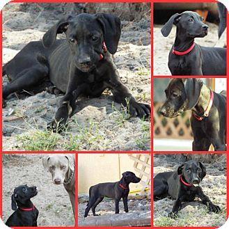 Adopted Davenport Fl Weimaraner Rhodesian Ridgeback Mix Meet Red A Puppy For Adoption Http Www Adoptapet Com Puppy Adoption Weimaraner Pet Adoption