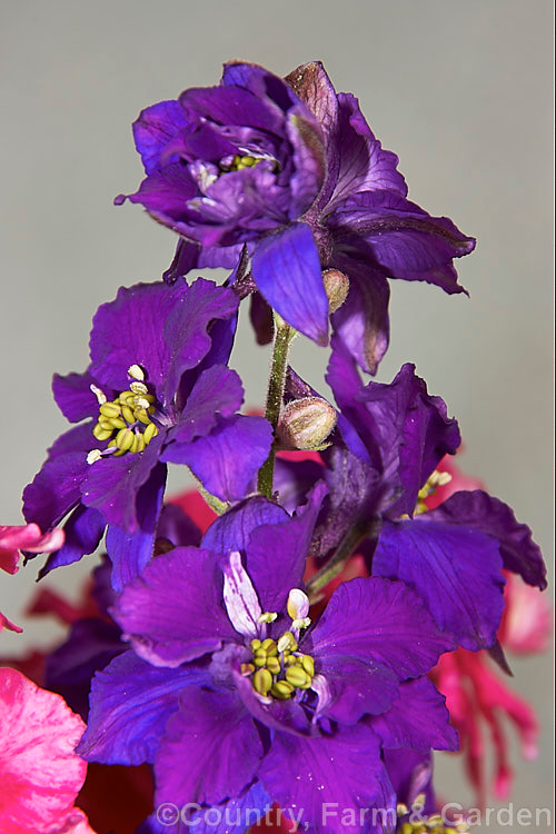 Consolida Ambigua Photo In 2020 Delphinium Wild Plants Dried Flowers