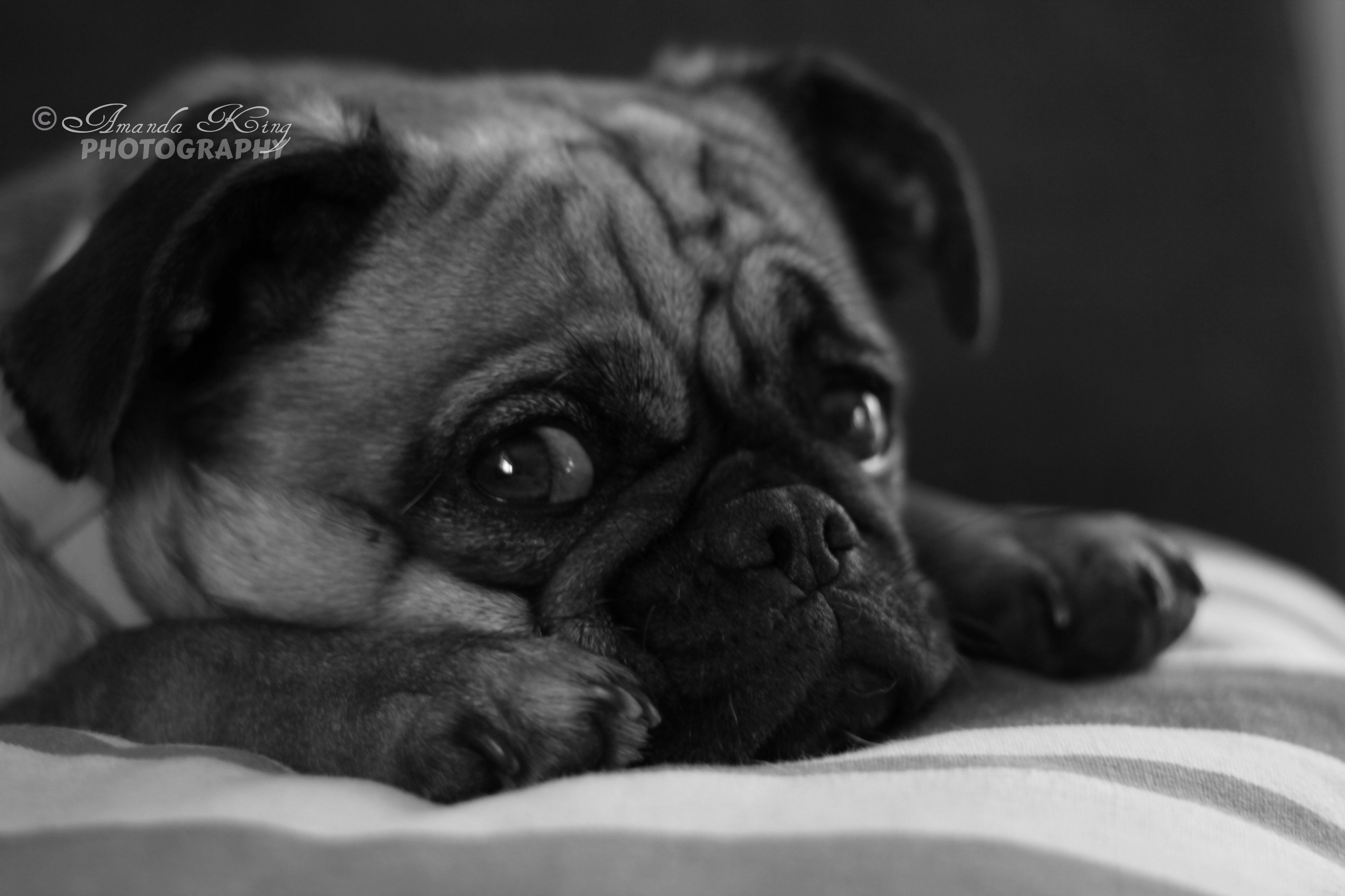 Pug Griffin Peggy Sue Penny226 Animals Cute Animals Pugs