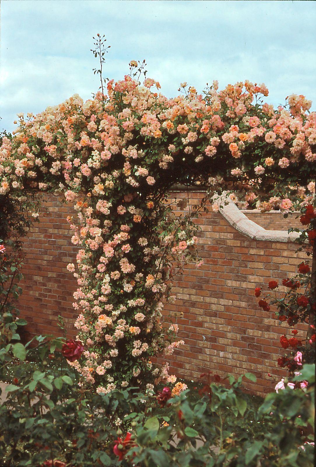 Rosa Rampicante In Vaso rose rampicanti: ecco come scegliere quella giusta | rose