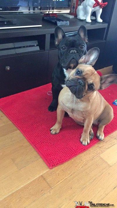 The Dailyfrenchie Bulldog Puppies Cute Baby Animals Cute French Bulldog