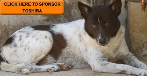 I have been living at the Soi Dog shelter for nearly my entire life – over 7½ years now. My name is Toshiba and I am one of the shyest dogs here.  I am very wary of people, especially those I do not know. If I know you well, I do start to feel comfortable around you, but it really does take time and patience.  I really hope you will pick me.  https://www.soidog.org/en/sponsor-a-dog-or-cat/