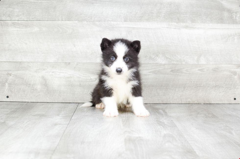 Animals Lovers Lovinganimals Dg Instagram Posts Videos Stories On Webstaqram Com Pomsky Puppies Pomsky Puppies For Sale Puppies For Sale