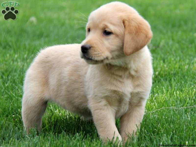 Labrador Golden Retriever Mix Golden Retriever Puppies Golden