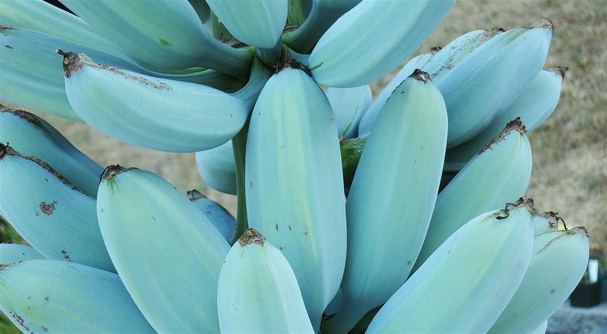 Blue Java Banana The Smooth Banana That Tastes Like Vanilla Ice Cream Vanilla Ice Cream Banana Ice Cream Banana