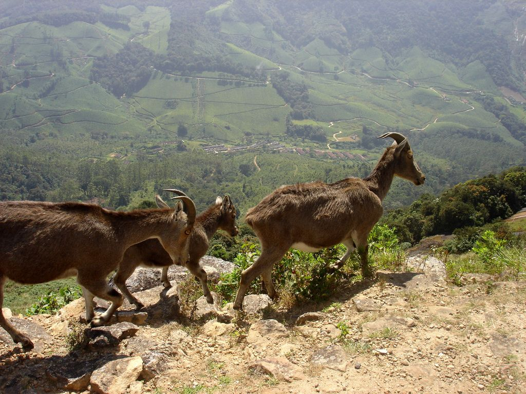https://flic.kr/p/7xShUW | India, Kerala, Nilgiri Tahr in the mountains | Nilgiri tahr at Eravikulam National Park in the Ghat mountains