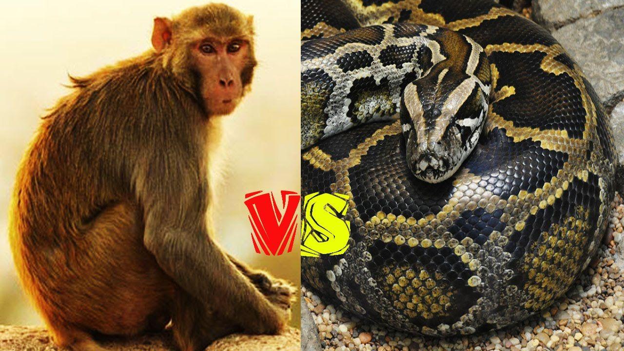 11 Monkey vs Snake or Python When Wild Animals Attacks