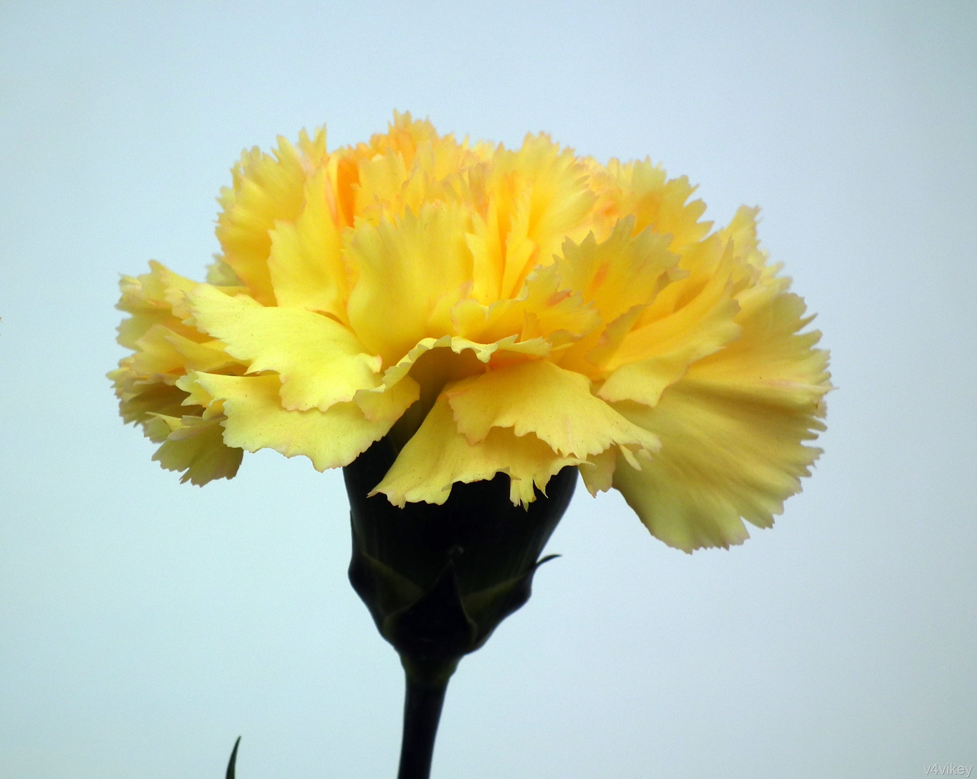 Yellow carnations yellow carnation flower wallpaper tadka yellow carnation flower yellow carnation flower symbolic of disappointment and dejection biocorpaavc