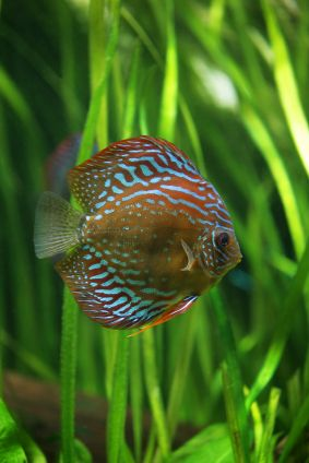 How to keep discus we think discus are the finest for Keeping discus fish
