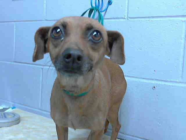 RESCUED❤️#A476415 Release date 12/10 I am a female, red Chihuahua - Smooth Coated mix. Shelter staff think I am about 2 years old. I have been at the shelter since Dec 03, 2014. City of San Bernardino Animal Control-Shelter. https://www.facebook.com/photo.php?fbid=10204076387087534&set=a.10203202186593068&type=3&theater