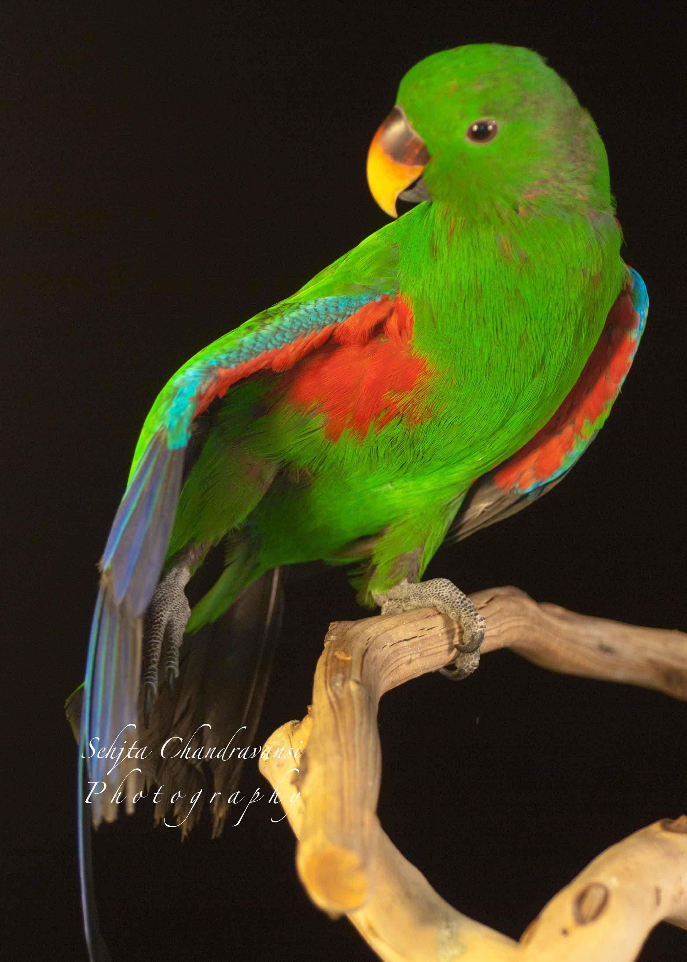 eclectus parrot krishna eclectus parrots pinterest