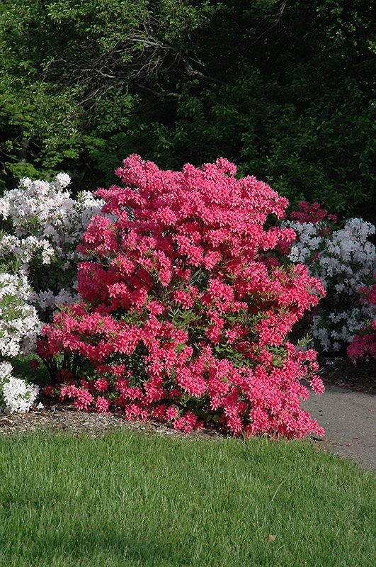 Rosy Lights Azalea Rhododendron Rosy Lights At Gertens Plants Azaleas Front Landscaping