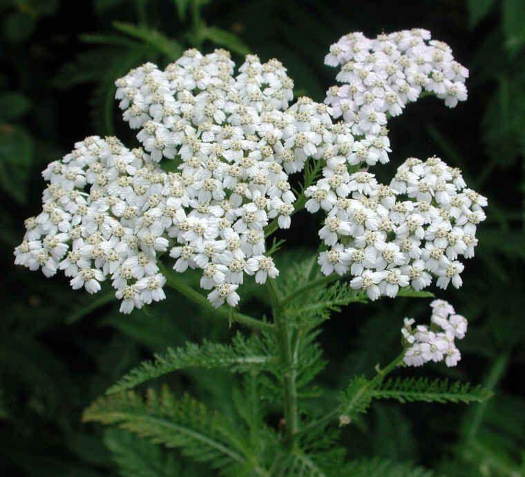 Mosquito Repellant Medicinal White Yarrow Seeds Achillea millefolium