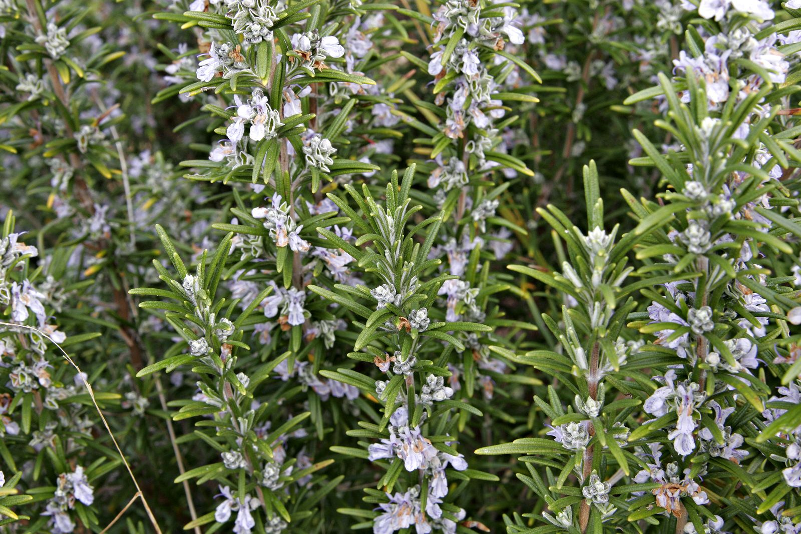Rosemary Growing Rosemary Rosemary Plant Edible Plants
