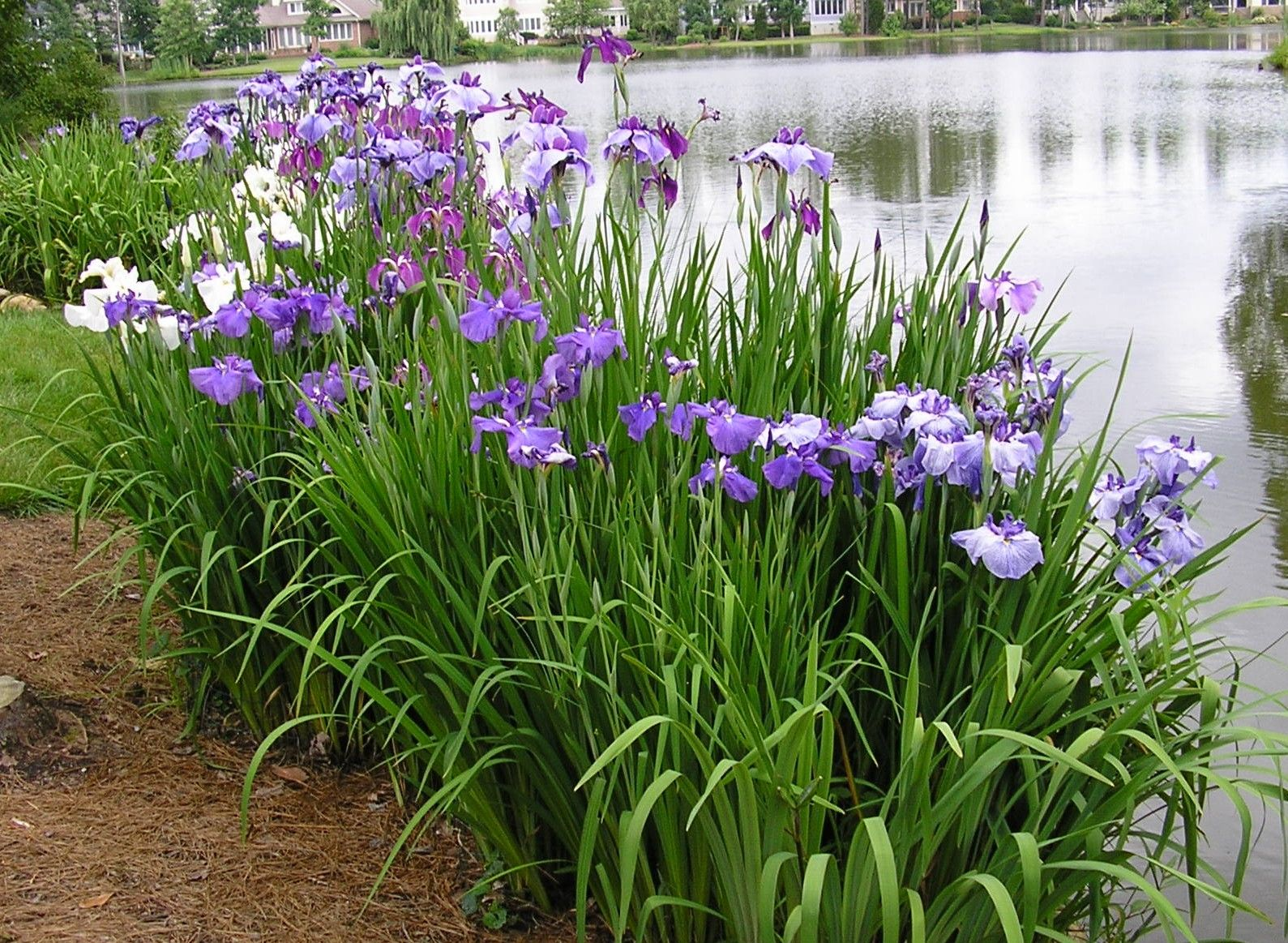 Japanese iris bed planted right at waters edgethis