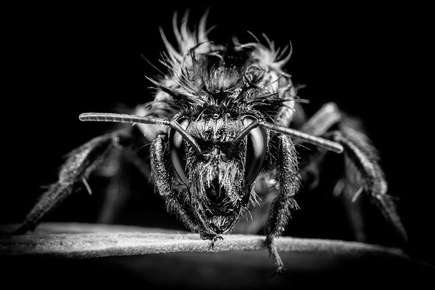 Jason Canning's close-up of a bee - titled Angry Bee - took second place in the Wildlife category....Image: RHS Photo Competition Winners (© RHS/Jason Canning)