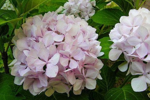 White Pink Hydrangea Pink Hydrangea Hydrangea White Hydrangea