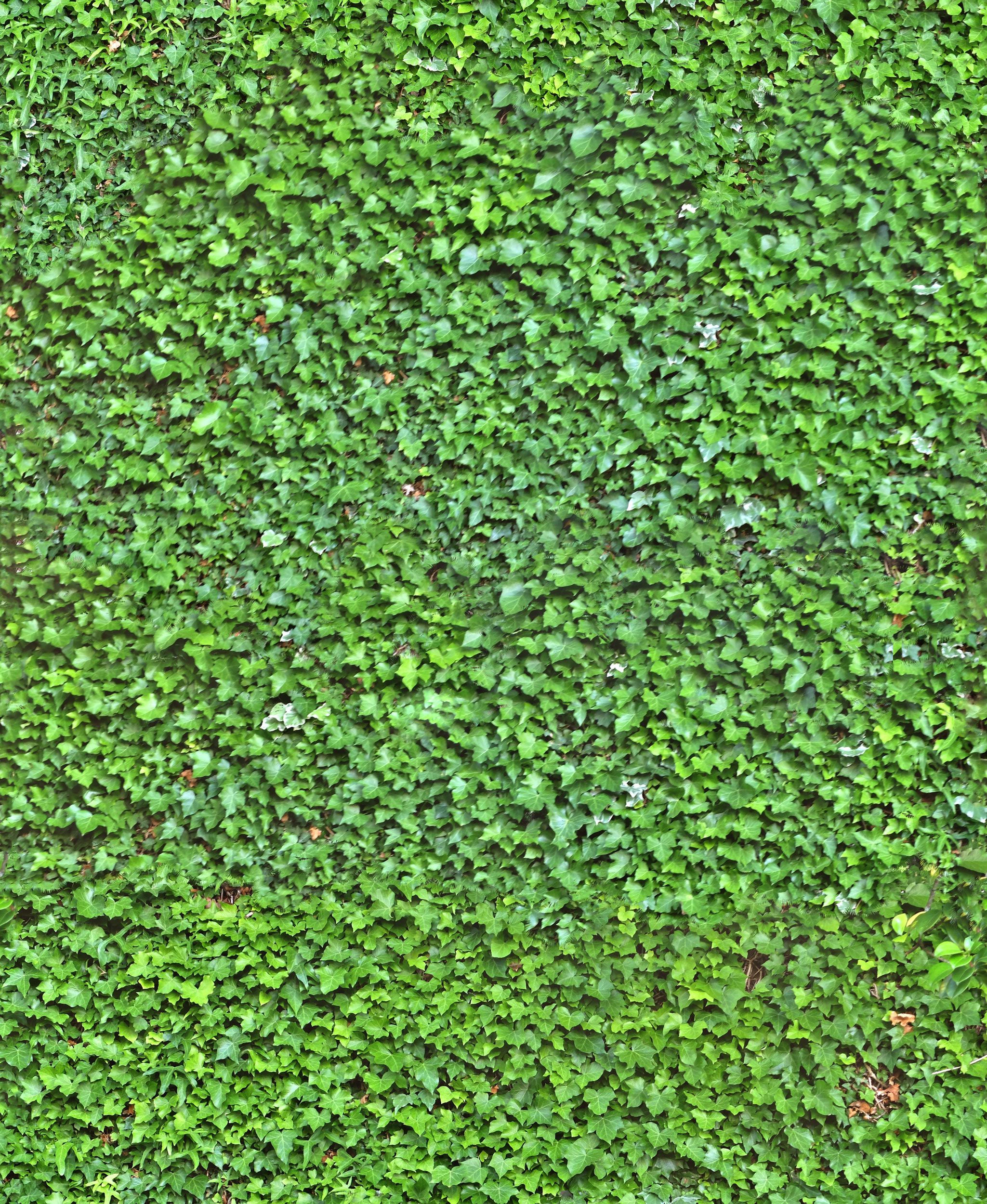 Ivy Wall Seamless Texture