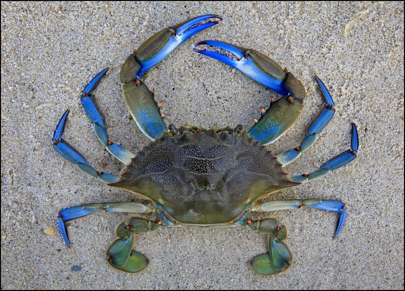 Blue crab by patrick zephyr photographer compa eros de for Blue crab fishing