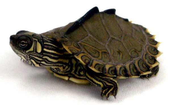 Pearl River Map Turtle For Sale Picture 3 Jpg 599 386 Turtles