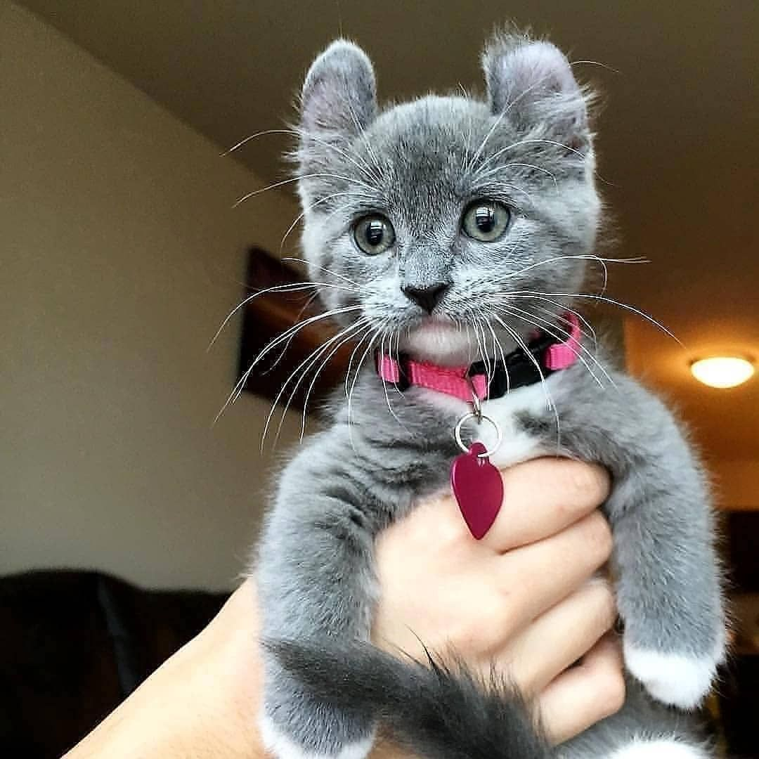 Cute Kitten Rate From 1 10 From Munchkin Minnie Catsofinstagram Cats Catstagram Instacat Catofthed Cute Cats Kittens Cutest Funny Cat Pictures