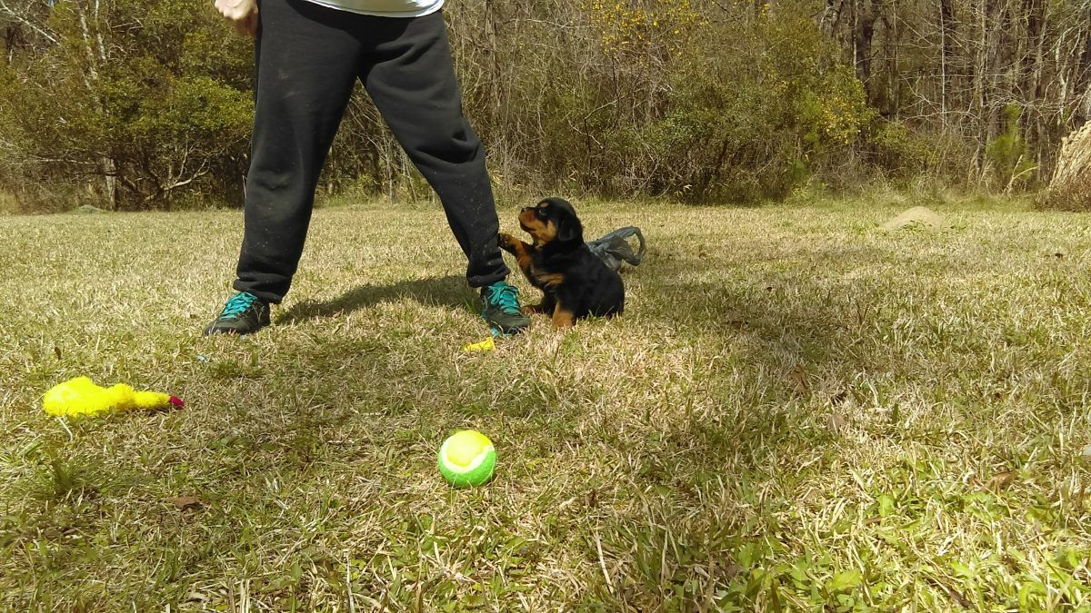 Gracie Female Akc Rottweiler Puppy For Sale In Huger South