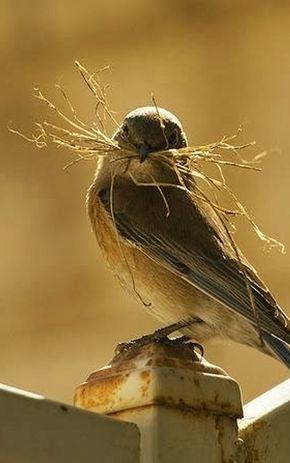 Image result for sparrows building a nest pinterest