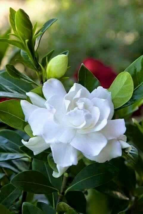 Rojonigondha Nice Flower Of Desh