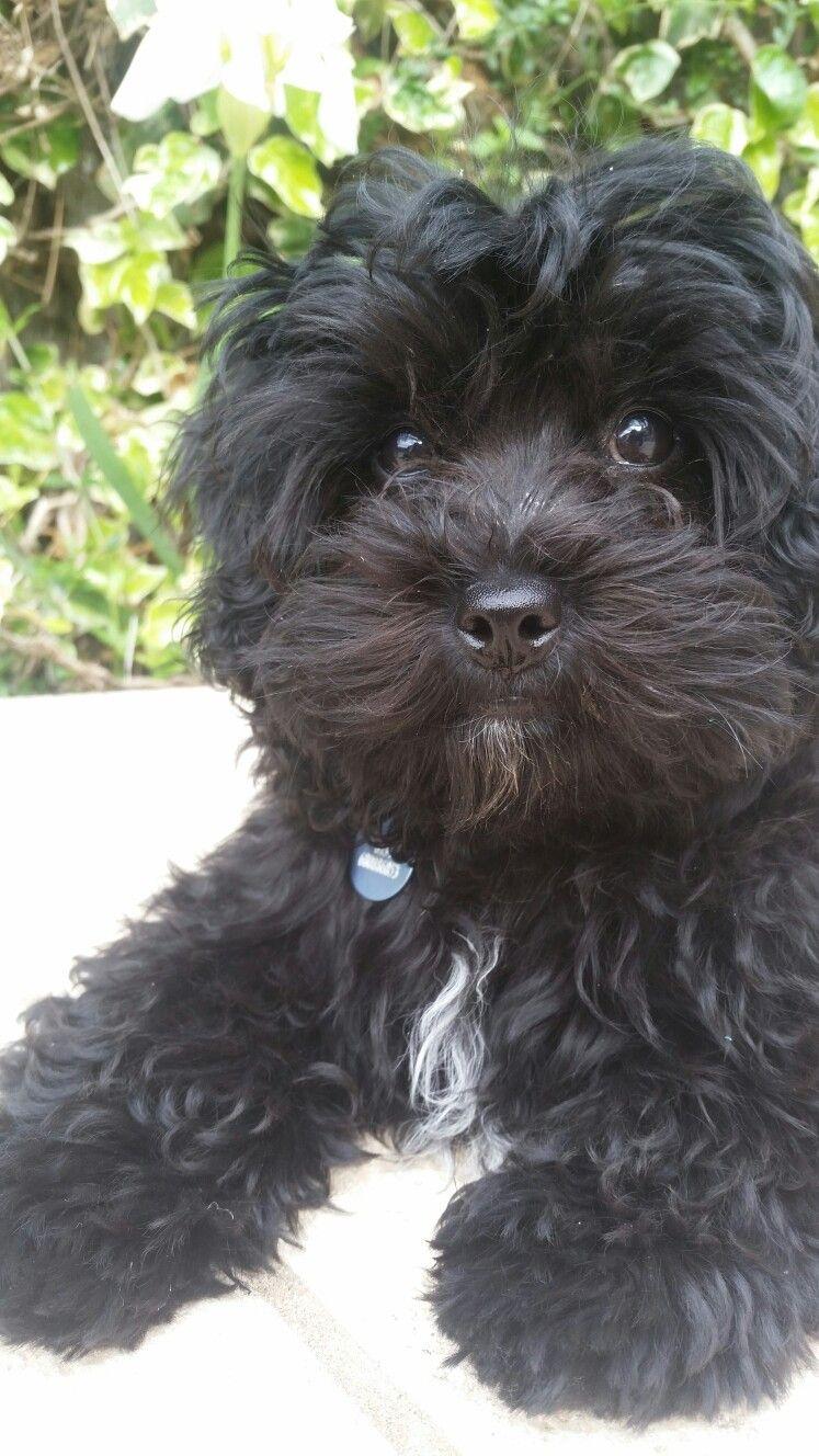 Black Maltipoo Maltipoo Dog Cockapoo Dog Black Dogs Breeds